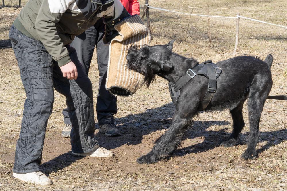 כלבי שנאוצר ענק מתאימים מאוד לאימוני הגנה - LADOG - מרכז מקצועי לאילוף