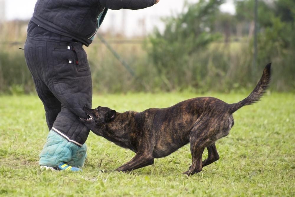 רועה הולנדי נחשב לכלב הגנה מעולה, ומשמש ככלב תקיפה במשטרה ובצבא - LADOG - אילוף מקצועי