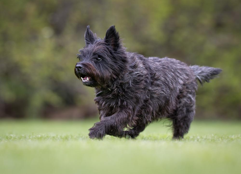 כלבי קאירן טרייר צריכים שחרור יומי בשטח פתוח - LADOG - מרכז מקצועי לאילוף