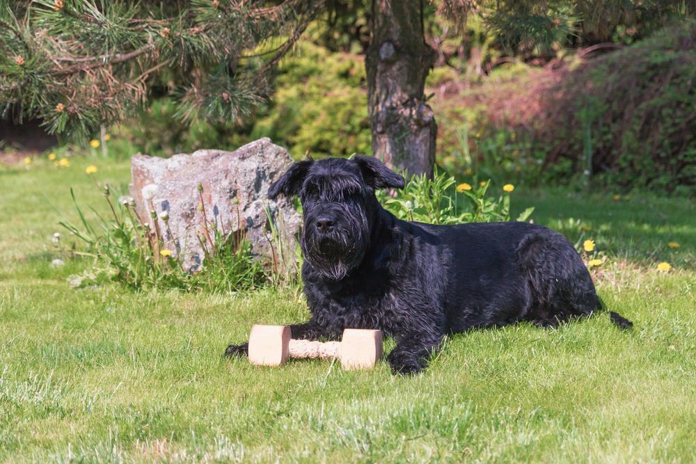 השנאוצרים אוהבים מאוד משחקי הבאת חפצים - LADOG - אילוף כלבים מקצועי