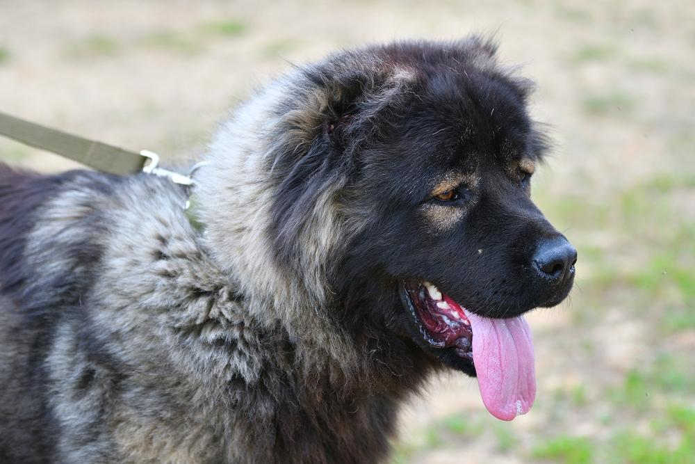 רועים קווקזי נקבה - LADOG - מרכז מקצועי לאילוף כלבים
