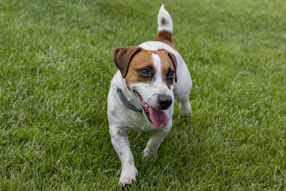 מהכלבים הקטנים ג'ק ראסל נחשב לכלב עבודה הטוב בעולם - LADOG - אילוף מקצועי