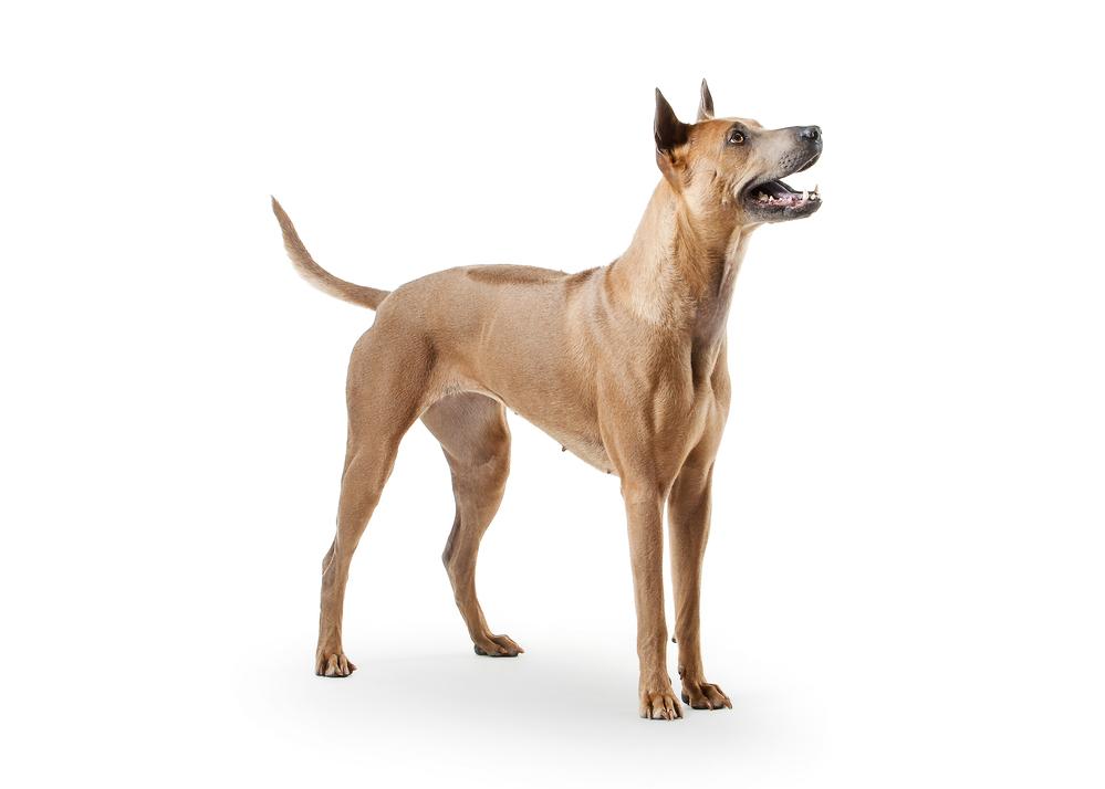 רידג'בק תאילדי חום - LADOG - אילוף כלבים