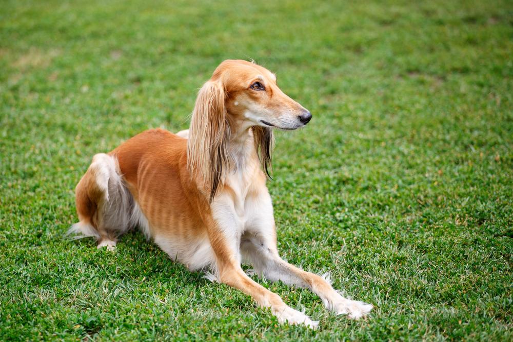 אילוף מקצועי לכלבי סלוקי - LADOG - בתמונה סלוקי בצבע חום, הצבע הנפוץ ביותר