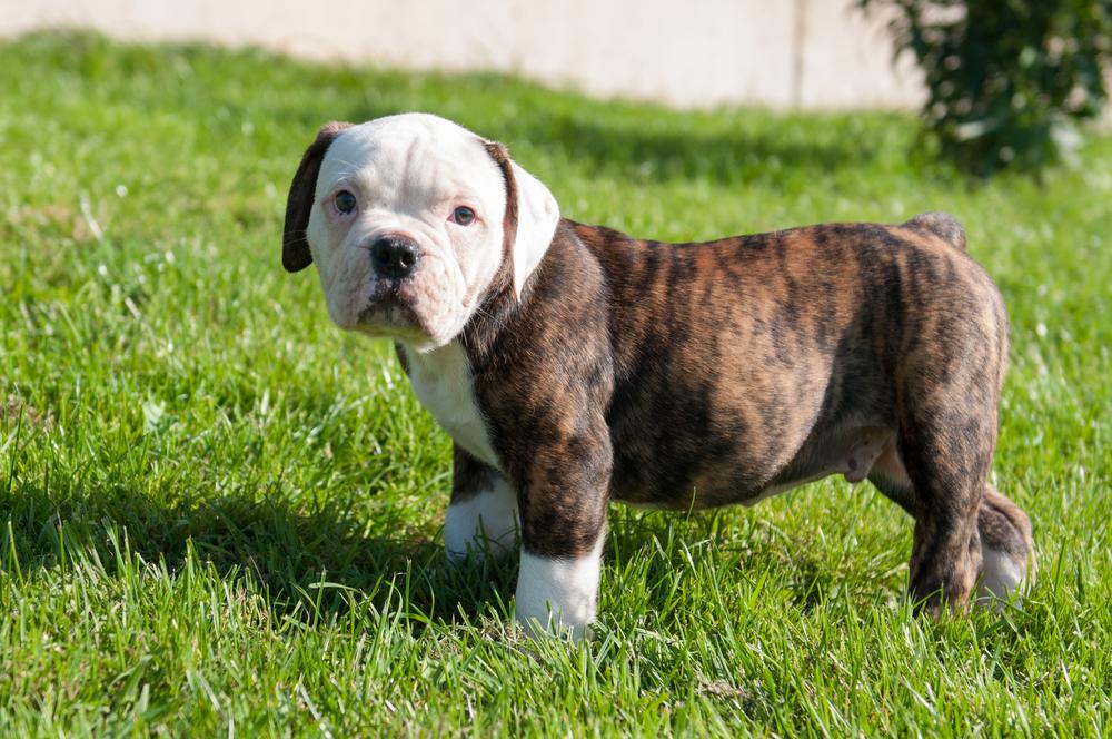 גור מנומר של בולדוג אמריקאי - LADOG - מרגז מקצועי לאימון כלבים