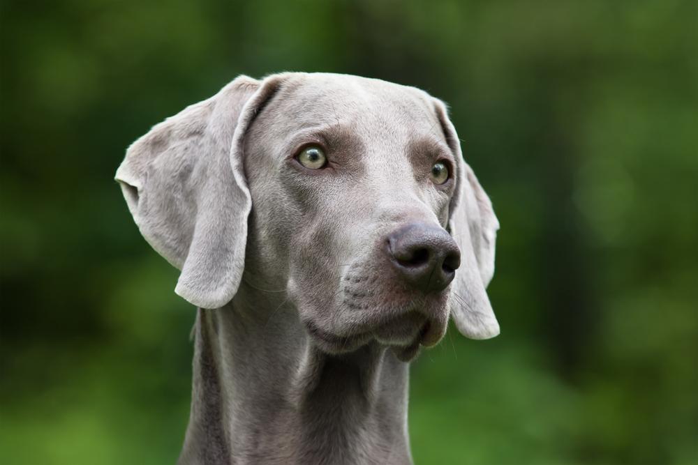 קורס אילוף מקיף לויימרנר שלכם - LADOG - אילוף כלבים מקצועי