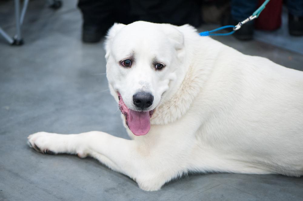 Akbash dog - כלביית LADOG