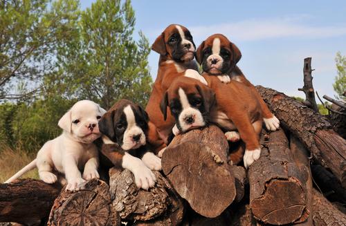 חינוך גורי בוקסר -LADOG-מרכז מקצועי לאילוף כלבים