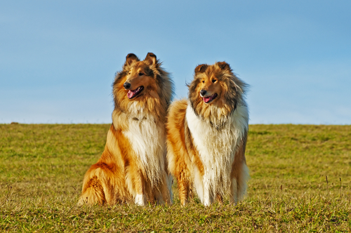 LADOG- אימון מקיף לכלב קולי