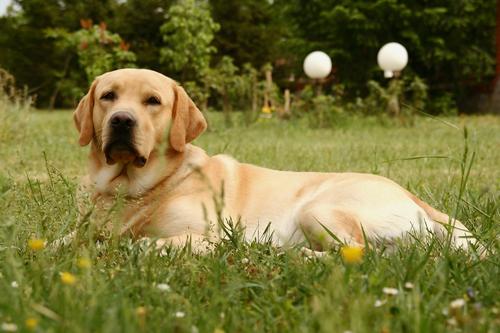 labrador retriever dog - אילוף מקיף לכלבי לברדור- LADOG