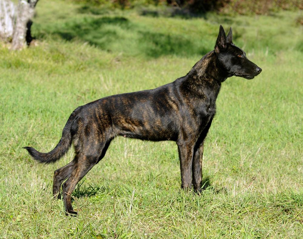ללא אילוף מקצועי עלול הרועה ההולנדי להפוך דומיננטי - LADOG - מרכז מקצועי לאילוף כלבים
