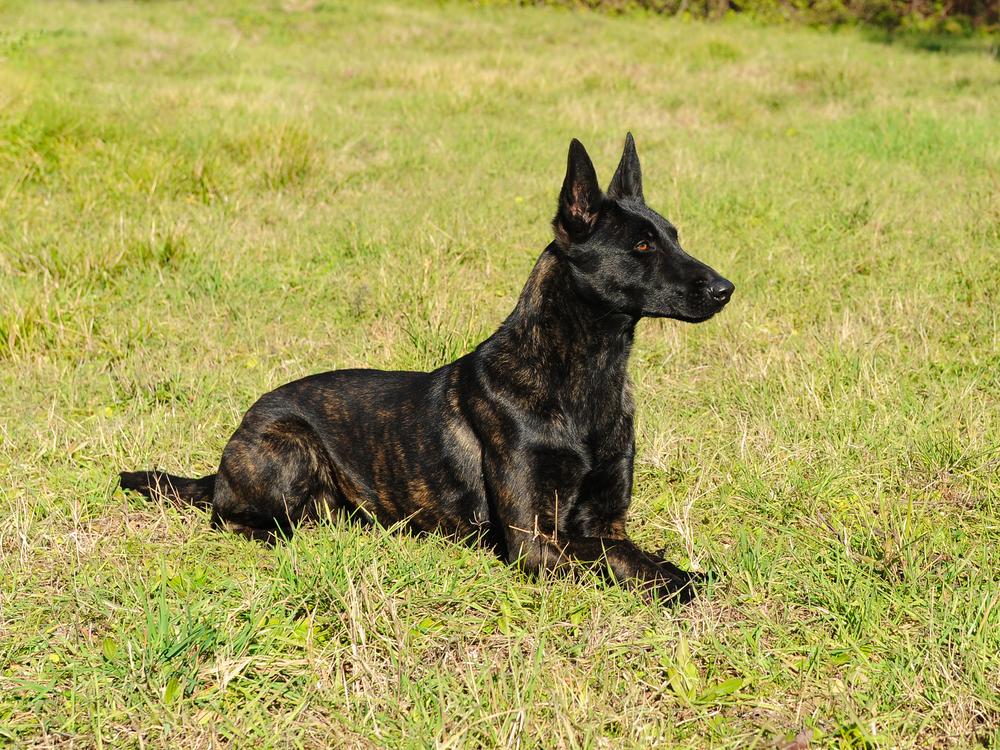 אילוף מקצועי לכלבי רועים הולנדי - LADOG - מרכז לאילוף כלבים