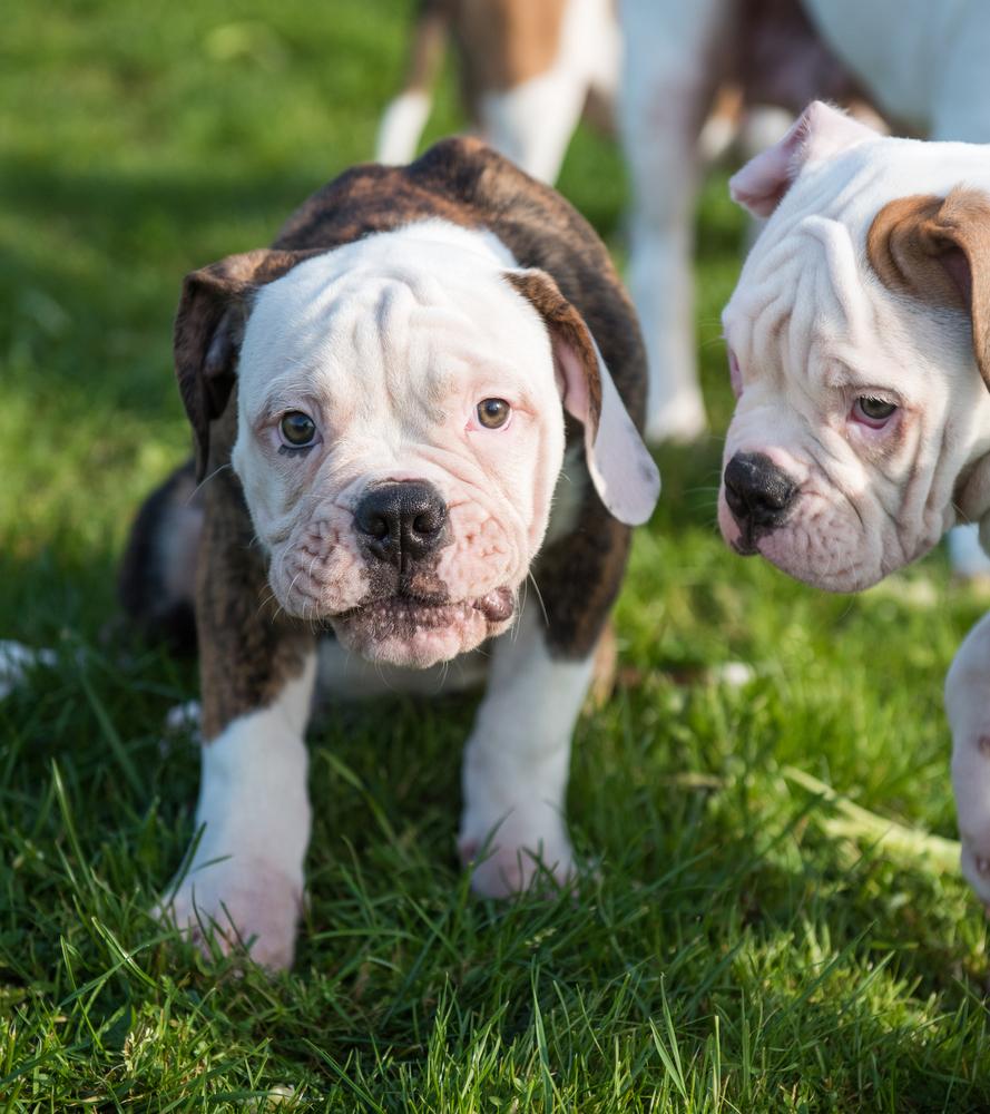 גורי בולדוג אמריקאי - LADOG - מרכז מקצועי לאילוף כלבים