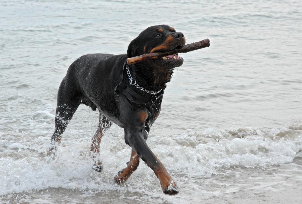 רוטווילר אוהב מטבעו מים ומשחקים - LADOG - מרכז מקצועי לאילוף כלבים