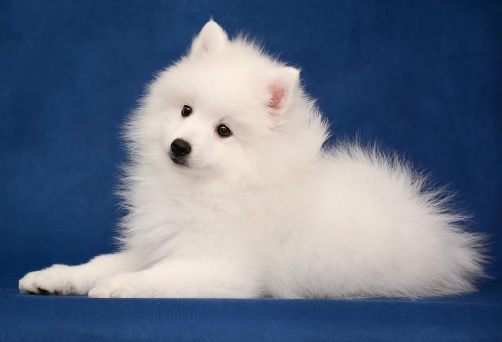 גור של שפיץ יפני - LADOG - מרכז מקצועי לאילוף כלבים