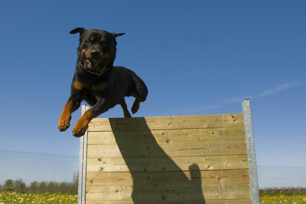 רוטווילר יכול לקפוץ גבוה, אך קפיצה לכלב כבד מסוכנת למפרקים - LADOG - אילוף מקצועי