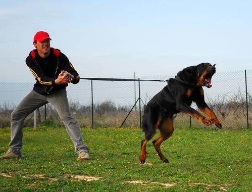 אילוף כלבי בוסרון להגנה ותקיפה- LADOG