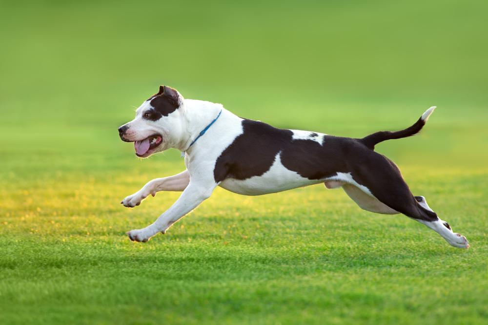 אילוף מקצועי לכלבי פיטבול - LADOG - פיטבול בצבע שחור לבן