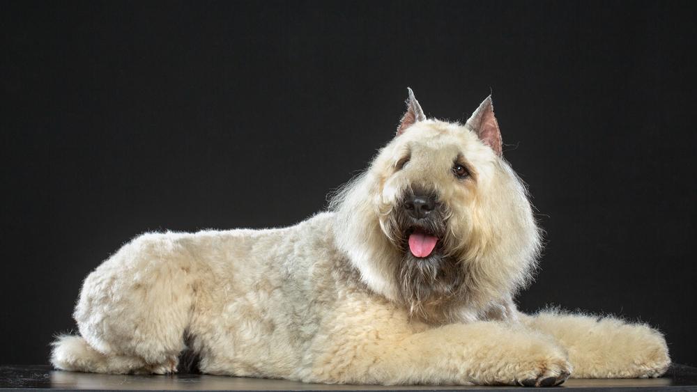 קורס אילוף מקיף לכלבי בוביה - LADOG