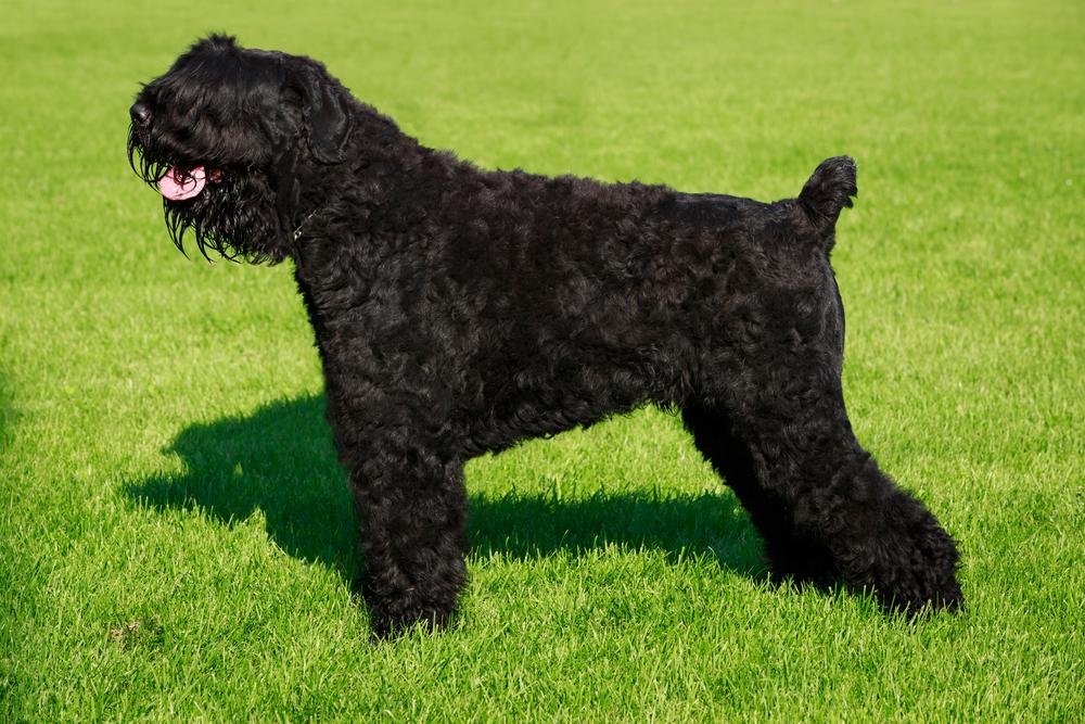 אחד מגזעי הכלבים הבודדים שפותחו במיוחד לשרת ככלבי שמירה וכלבי משטרה - LADOG