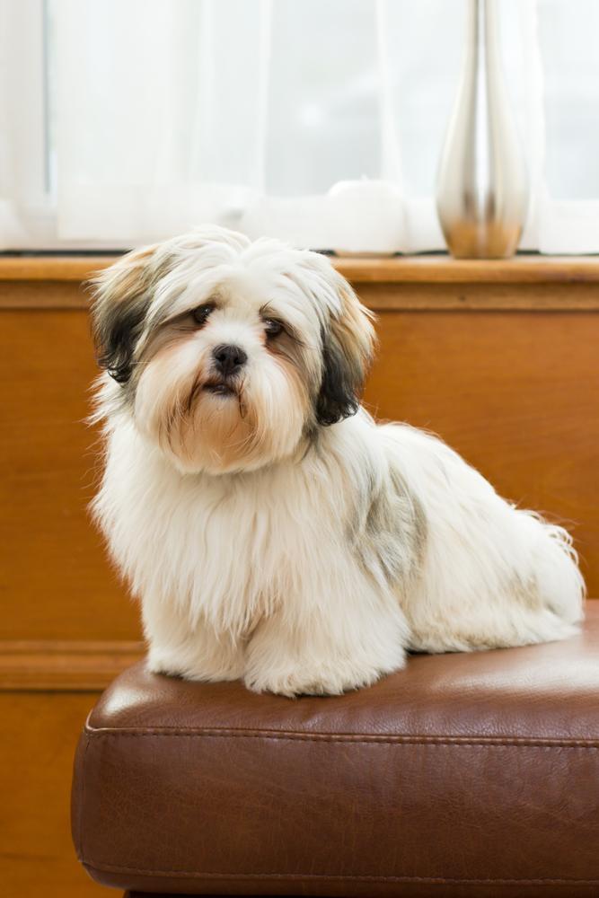 להאסה אפסו נחשב לכלב משפחה מצויין - LADOG