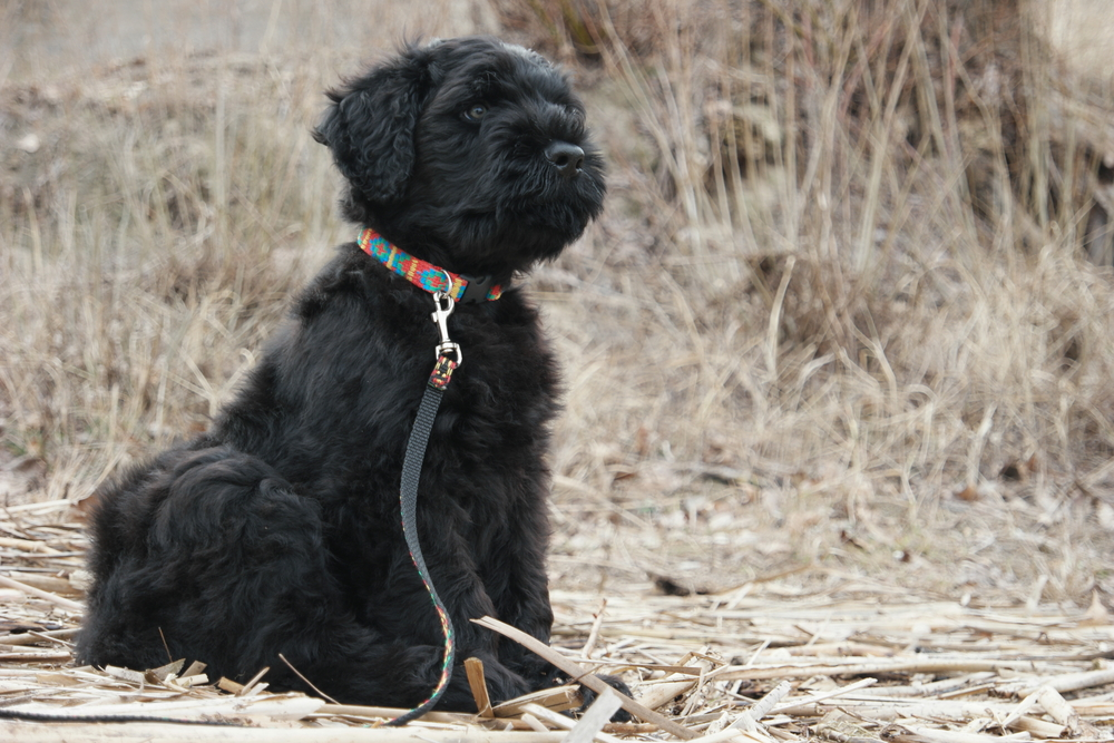 גור של טרייר רוסי שחור - LADOG - מרכז מקצועי לאילוף כלבים