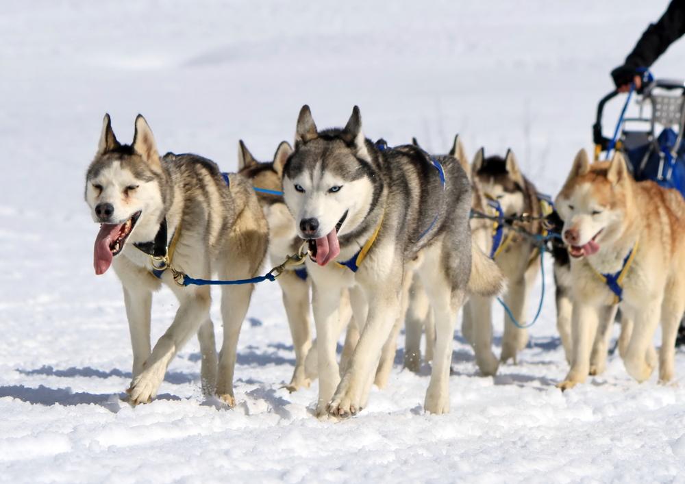 כלבי האסקי סיבירי שימשו לגרירת מזחלות בשלג, לכן חשוב לאמן אותם לפקודת רגלי והליכה נכונה - LADOG - אילוף מקצועי