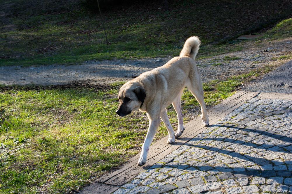 הרועהאנטולי צריך שחרור על בסיס יומי בשטח פתוח - LADOG - אילוף כלבים