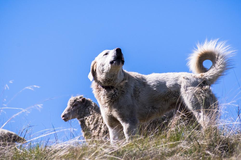 רועה טורקי-אקבש (ראש לבן) - LADOG - מרכז מקצועי לאימון כלבים