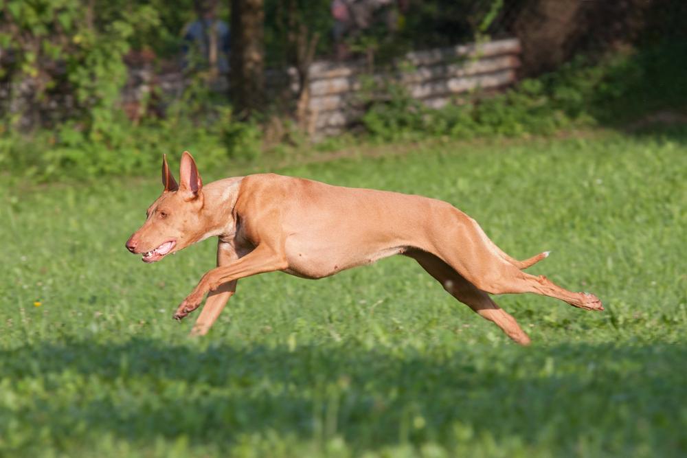חשוב מאוד לתת להאוונד פרעה שחרור בשטח פתוח על בסיס יומי - LADOG - אילוף כלבים