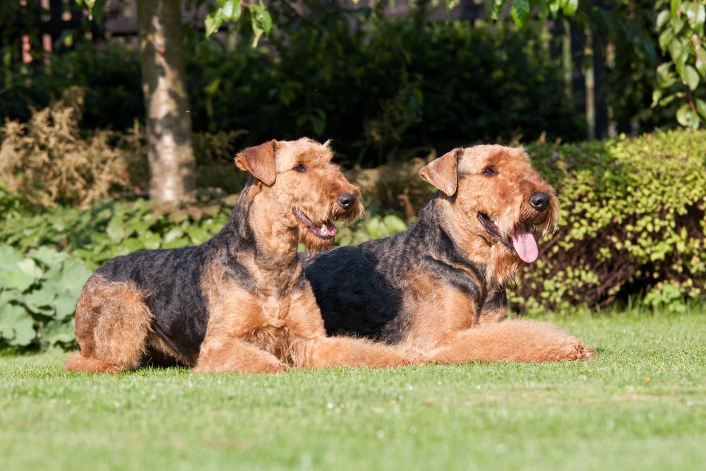 כלבי אירדייל טרייר בפקודה ארצה הישאר - LADOG - אילוף כלבים