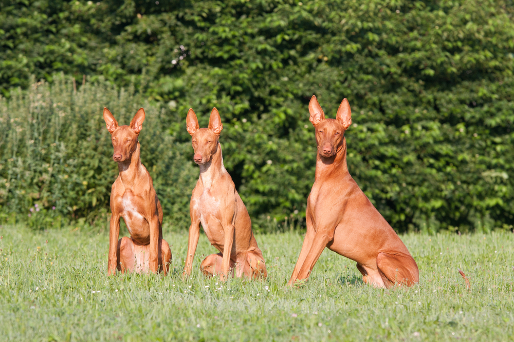 כלבי האוונד פרעה - LADOG - מרכז מקצועי לאילוף כלבים