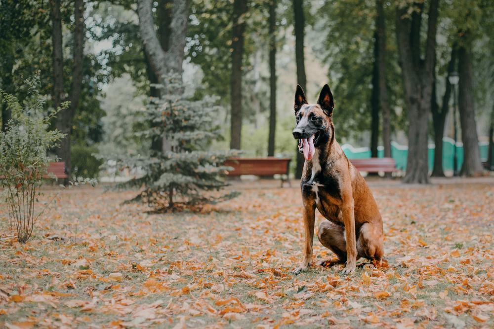 אילוף מלינואה למשמעת - LADOG - אילוף כלבים