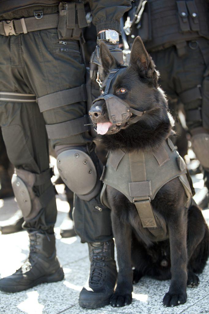 כלב רועה גרמני קו דם עבודה משמש ביחידות המובחרות במשטרה בכל העולם ויציב לנוהג שלו - LADOG