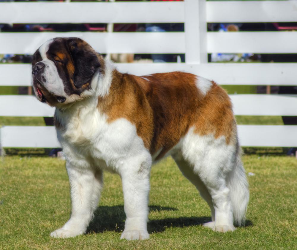 אילוף מקצועי לכלבי סן ברנרד - LADOG-