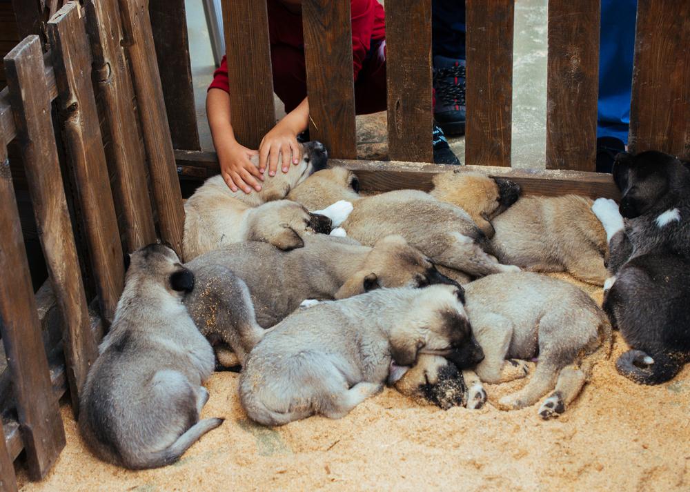 גורי רועים טורקי - LADOG - מרכז מקצועי לאילוף כלבים