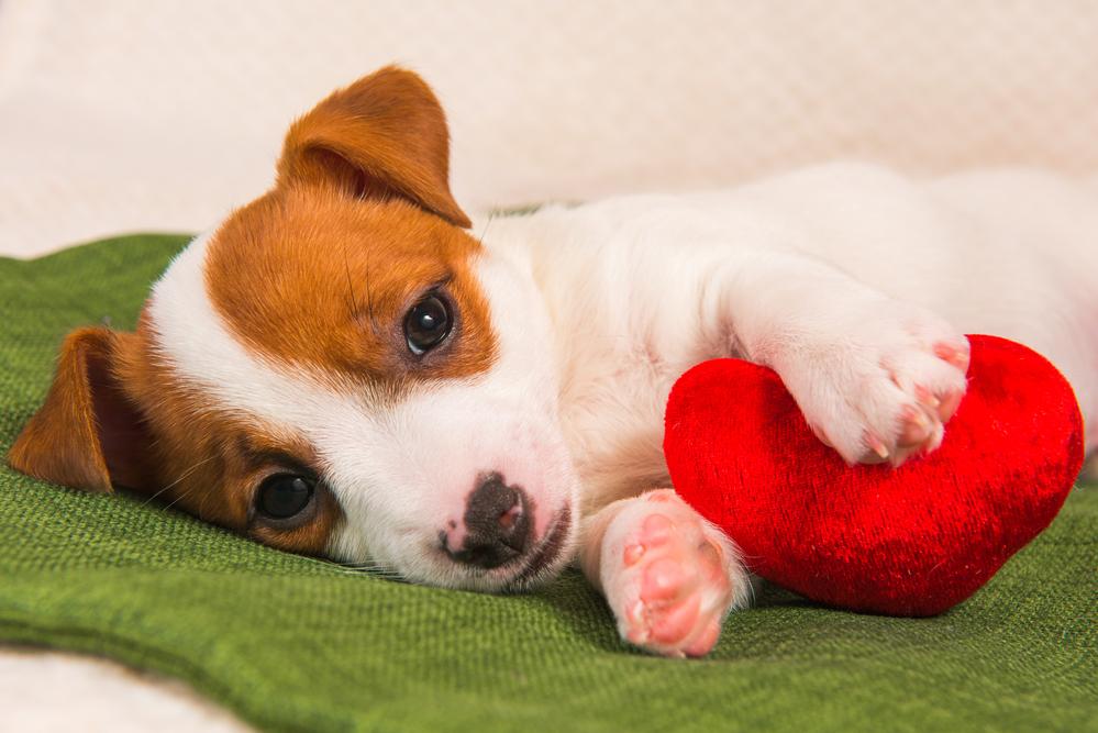גור של בסנג'י - LADOG - מרכז מקצועי לאילוף כלבים