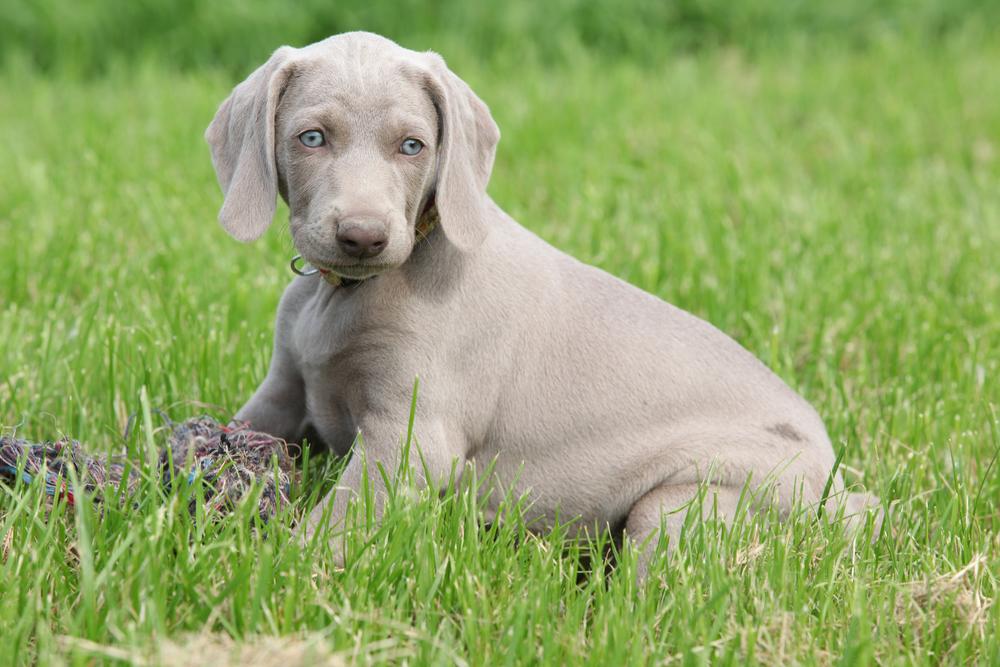 גור של וימרנר - LADOG - מרכז לאילוף כלבים