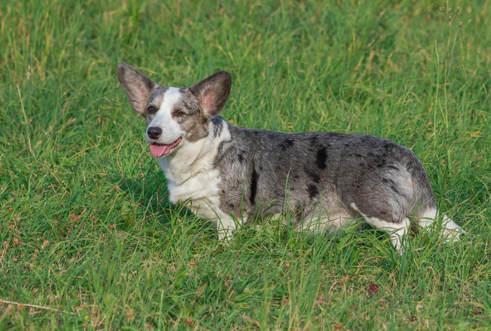 וולש קורגי בצבע הספרותי כחול (אפור) - LADOG - מרכז מקצועי לאילוף כלבים