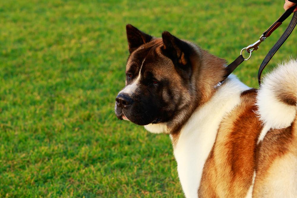 כלבי האקיטה אמריקאי נחשבים לכלבים הדומיננטיים ביותר - LADOG