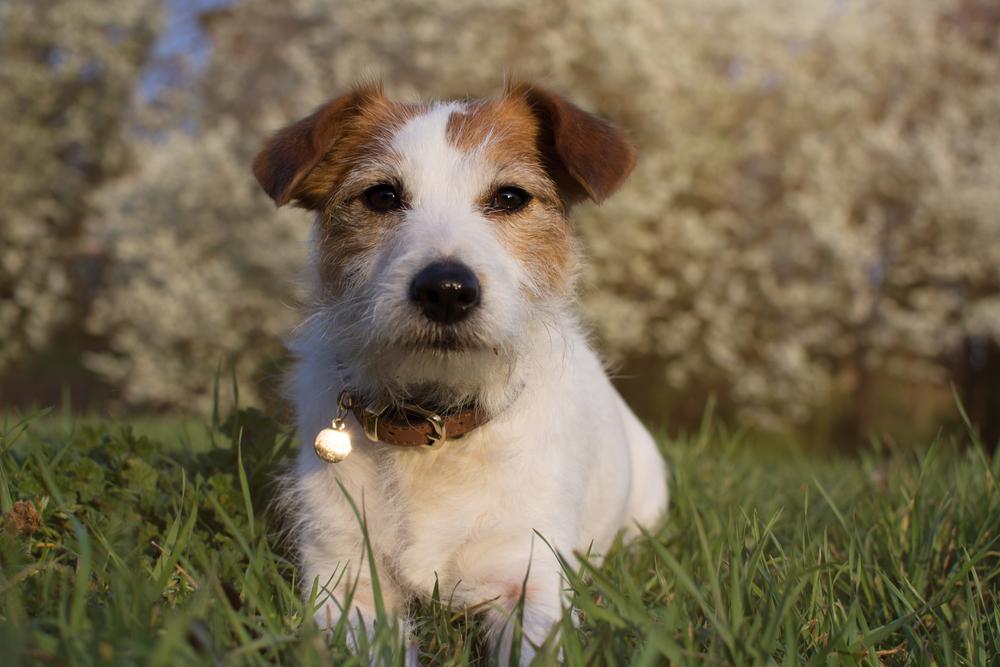 ג'ק ראסל ארוך שיער - LADOG- מרכז מקצועי לאילוף כלבים