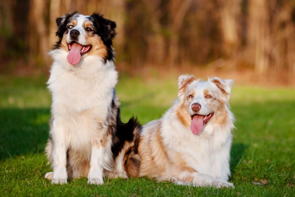אילוף מקצועי לכלבי רועים אוסטרלי-LADOG