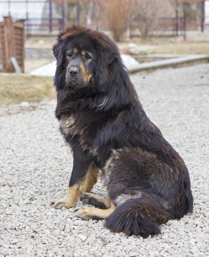Tibetan Mastiff- בצבע שחור חום - LADOG