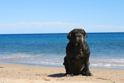 Neapolitan mastiff -אילוף למשמעת מתקדמת-LADOG
