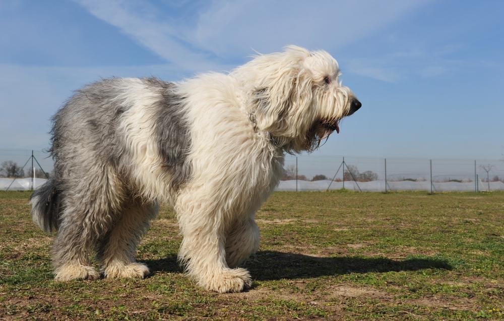 אילוף מקצועי לכלבי צאן אנגלי עתיק - LADOG