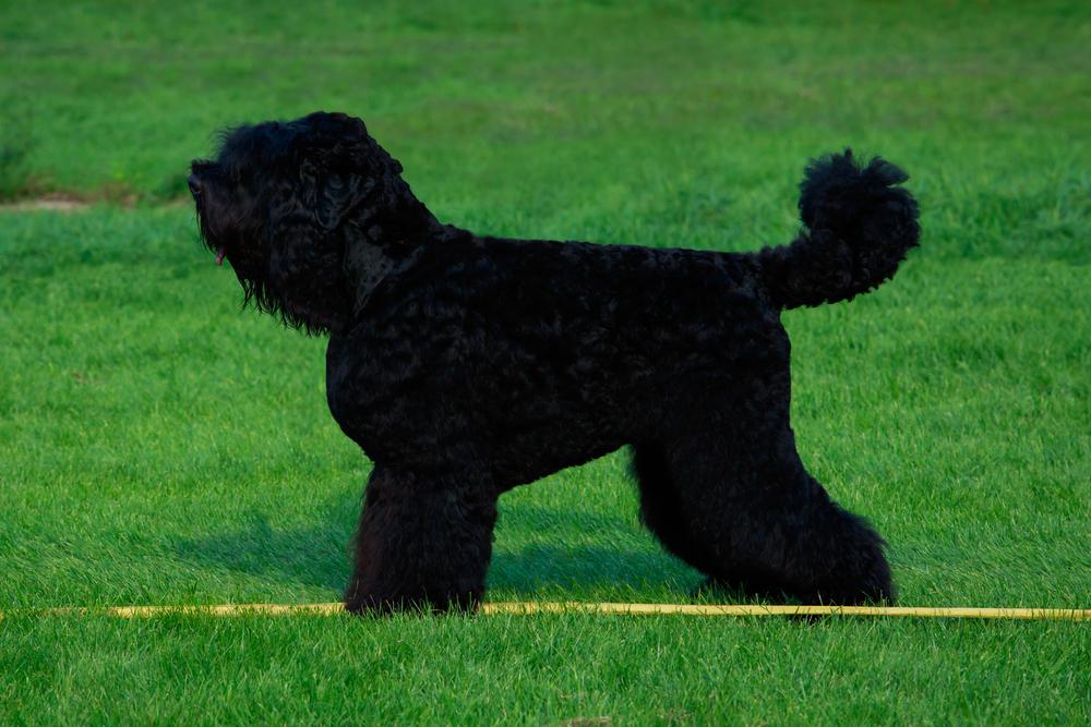 טרייר רוסי שחור לאחר תספורת לתערוכת גזע - LADOG - מרכז מקצועי לאימון כלבים