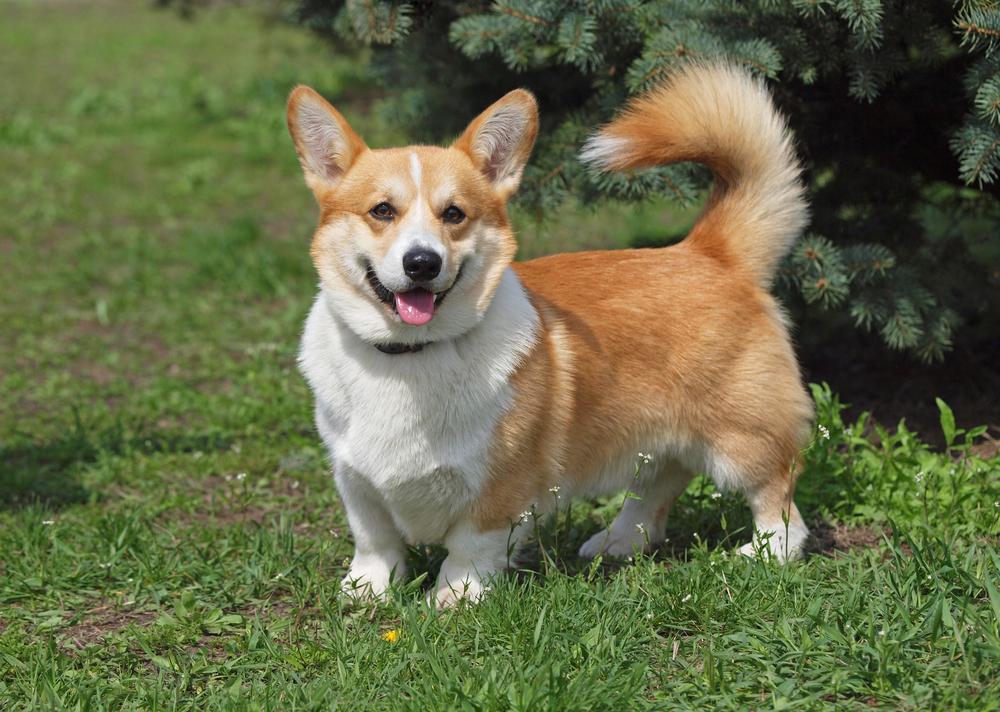 וולש קורגי חום לבן - LADOG - מרכז מקצועי לאילוף כלבים