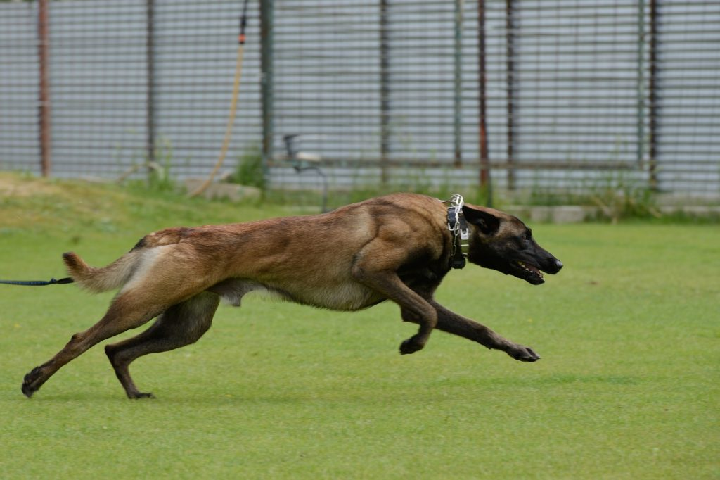 בכדי להגיע למהירות המקסימלית של המלינואה, יש לשמור גל משקל תקין - LADOG - אילוף כלבים