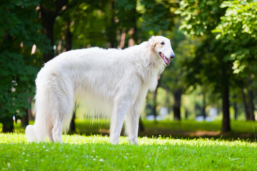 אילוף מקצועי לכלבי בורזוי - LADOG