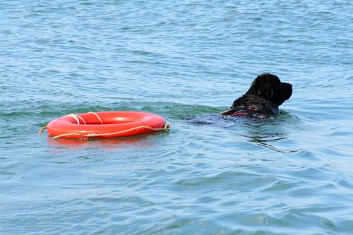 ניופאונדלנד נחשב לכלב הטוב ביותר להצלה במים-LADOG